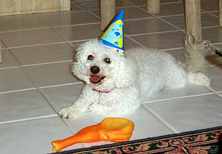 bichon in a party hat